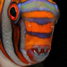Рыба – арлекин