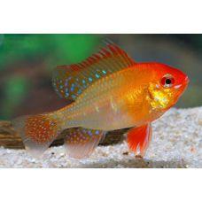 Рыбка Апистограмма голд
