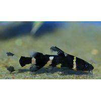 Рыбка Косатка сиамская