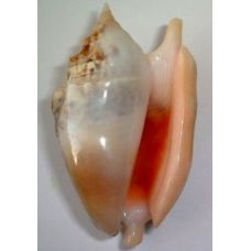 Раковина для аквариума Стромбус Дианы