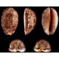 Раковина для аквариума Арабская каури 4-5см