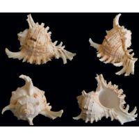 Раковина для аквариума Цикориевый мурекс