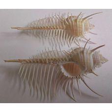 Раковина для аквариума Гребень Венеры