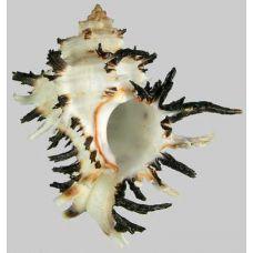Раковина для аквариума Мурекс эндивия