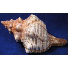 Раковина для аквариума Трапециевидная плеуроплока