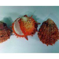 Раковина для аквариума Спондилус барбатус оранжевый