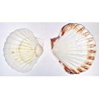 Раковина для аквариума Гребешок морской белый