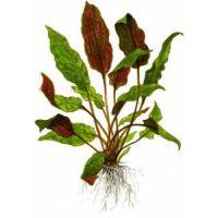 Растение Криптокорина Вендта