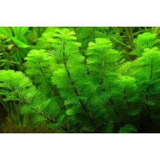 Растение Кабомба каролинская