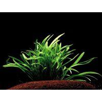 Растение Эхинодорус нежный, или эхинодорус травянистый, или амазонка карликовая