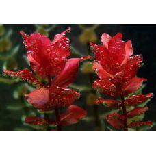 Растение Ротала Зеленая крупнотычинковая