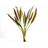 Растение Апоногетон