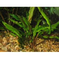 Растение Криптокорина зеленая
