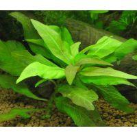 Растение Номафила прямая или Лимонник