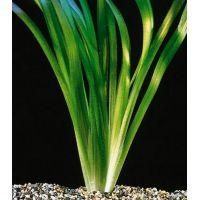 Растение Валлиснерия Гиганская