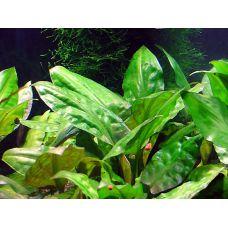 Растение Криптокорина понтедериелистная
