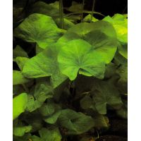Растение Кувшинки