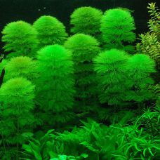 Растение лимнофила водная