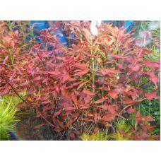 Растение Людвигия красная