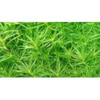 Растение Наяда гваделупская