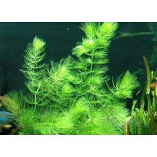 Растение Роголистник светло-зеленый