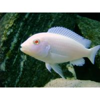 Рыбка Псевдотрофеус Снежинка