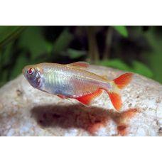 Рыбка Тетра красноплавничковая