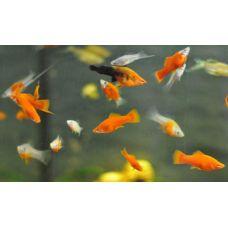 Рыбка Меченосец ассорти