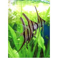 Рыбка Скалярия АССОРТИ средняя