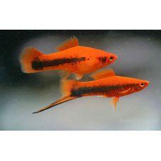 Рыбка Меченосец полосатый
