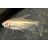 Рыбка Тетра Конго Альбинос взрослые