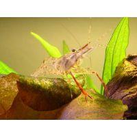Таиландская стеклянная креветка (Macrobrachium Lanchesteri)