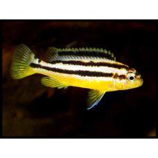 Рыбка Меланохромис золотой