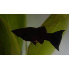 Рыбка Моллинезия черная
