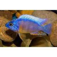Рыбка Протомелас спец стевени тайвань риф