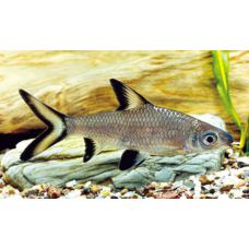 Рыбка Акулий бала