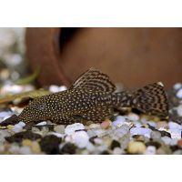 Рыбка Анцитрус (сом)