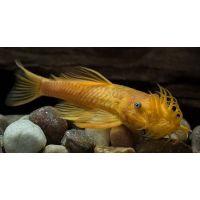Рыбка Анцитрус вуалевый альбинос (сом)