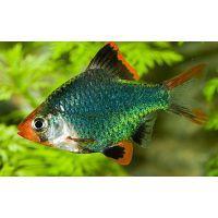 Рыбка Барбус суматранский мутант
