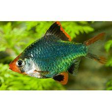 Рыбка Барбус суматранский мутант Киев