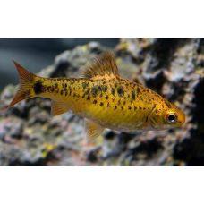 Рыбка Барбус шуберта