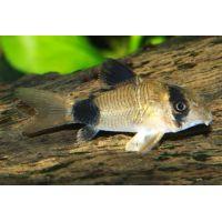 Рыбка Сомик Панда