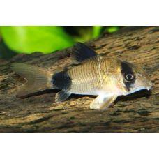 Рыбка Сомик Панда Киев
