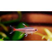Рыбка Эритрозонус