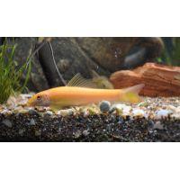 Рыбка Гиринохейлус золотой