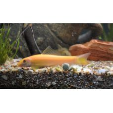 Рыбка Гиринохейлус золотой Киев