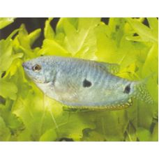 Рыбка Гурами мраморная