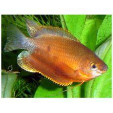 Рыбка Гурами золотая