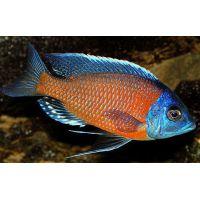 Рыбка Цихлиды оз.Малави АССОРТИ