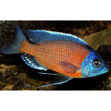 Рыбка Копадихромис каданго